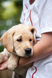 Golden Yellow Lab Puppy Royalty Free Stock Image