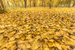 Golden yellow. In late autumn, ginkgo leaves off the ground, a golden yellow Stock Photography