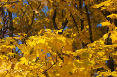 Golden yellow leaves Stock Image