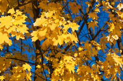 Golden yellow leaves Royalty Free Stock Photography