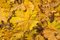Golden yellow leaves in autumn Royalty Free Stock Photography