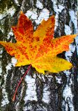 Golden-yellow maple leaf on bark of birch tree . Stock Photos