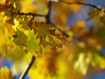 Golden yellow oak leaves Indian summer. The golden yellow coloring of oak leaves - radiant in the sunlight, background blurred. Nature in Germany at fall Stock Photos