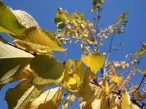 Golden, yellow and orange leaves under sunbeams from the blue sky. royalty free stock photo