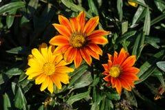 Golden yellow, orange and red flowers of gazania Stock Photo