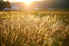 Golden yellow plants in rays of summer sunset at ethnic festival royalty free stock images