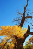 Golden yellow Poplar tree and blue color sky Royalty Free Stock Photo