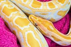 Golden yellow Python snake Stock Image