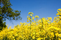 Golden yellow rape field Stock Photos