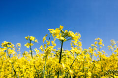 Golden yellow rape field Royalty Free Stock Image