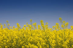 Golden Yellow Rapeseed. Close-up view of golden yellow rapeseed against a blue sky stock photo