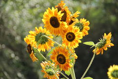 Golden-yellow rays sunflower. A standout golden-yellow rays sunflower Stock Image