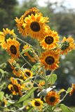 Golden-yellow rays sunflower. A standout golden-yellow rays sunflower Royalty Free Stock Images