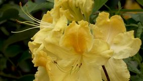Golden yellow rhododendron blooming in springtime. Bushes stock video