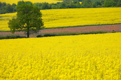 Golden Yellow Rural Landscape. Looking over a rural landscape of golden yellow fields of rapeseed to a single tree stock photos