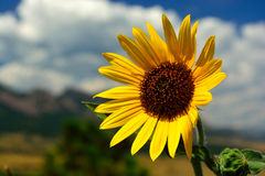 Golden Yellow Sunflower on a Sunny Day with Mountains in the Bac Stock Photo