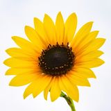 A golden yellow Sunflower. An up close view of a golden yellow Sunflower royalty free stock photos
