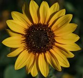 A Golden Yellow Sunflower. An up close view of a golden yellow Sunflower in a meadow stock photo