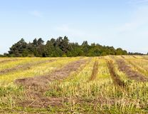 Golden stubble. Golden and yellow traces and straw on the field after collecting rape. photo in summer in sunny weather. blue sky against the background of an Royalty Free Stock Images