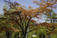 Golden Yellow tree. One Golden Yellow tree in The Slender West Lake of Yangzhou Stock Photo