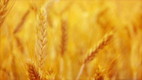 Golden Yellow Wheat Ears in Agricultural cultivated field, close up with selective focus stock footage