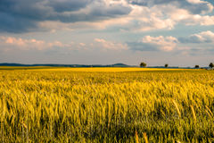 Golden yellow wheat field in warm sunshine under dramatic sky, fresh vibrant colors. At Rhine Valley Rhine Gorge in Germany Royalty Free Stock Photography
