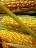 Golden yelow corn Stock Image