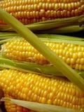 Golden yelow corn Stock Image