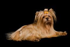 Golden Yorkshire terrier lying Stock Images