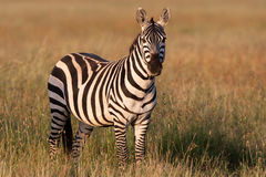 Golden zebra. An adult zebra in golden light Royalty Free Stock Photo