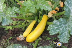 Golden zucchini ripen in the garden. Organic growing of vegetables. Royalty Free Stock Images