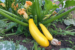 Golden zucchini ripen in the garden. Organic growing of vegetables. Golden ripe zucchini on a bed in the garden. Organic growing of vegetables Royalty Free Stock Image