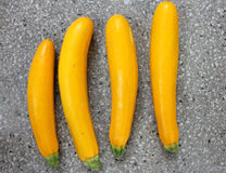 Golden zucchini. Yellow zucchini, Cucurbita pepo, vine Producing yellow cylindrical fruit attached by thick green stalk end Cooked like green zucchini royalty free stock photo