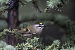 Goldencrowned Kinglet Royalty Free Stock Image