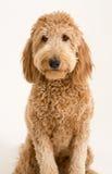 Goldendoodle在演播室 免版税库存照片