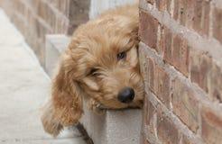 Goldendoodle在砖门道入口外面的小狗偷看 免版税库存照片