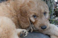 Goldendoodle小狗注视照相机 库存图片