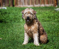 Goldendoodle images stock