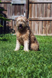 Goldendoodle Royalty Free Stock Image