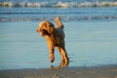 Goldendoodle Lizenzfreie Stockfotografie