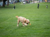 Goldendoodle aims for ball while playing game of fetch stock photo