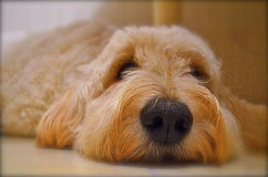 Goldendoodle closeup. Nose dog cute detailed eyes floor golden ears Stock Images