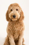 Goldendoodle dans le studio Photos libres de droits