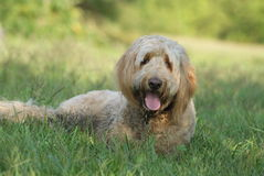 Golden Doodle Dog Lying in the Grass. A golden doodle dog lying in a grassy field on a sunny day in summer Stock Photo