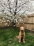 Goldendoodle dog sitting in yard Royalty Free Stock Images