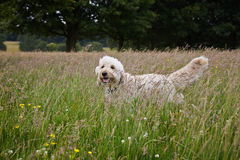 Goldendoodle Royalty Free Stock Images