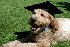 Goldendoodle Dog Wearing a Black Graduation Cap Royalty Free Stock Photo