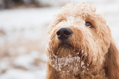 Goldendoodle en nieve imagenes de archivo