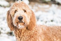 Goldendoodle en nieve Imagen de archivo libre de regalías