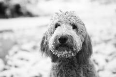Goldendoodle en nieve fotografía de archivo